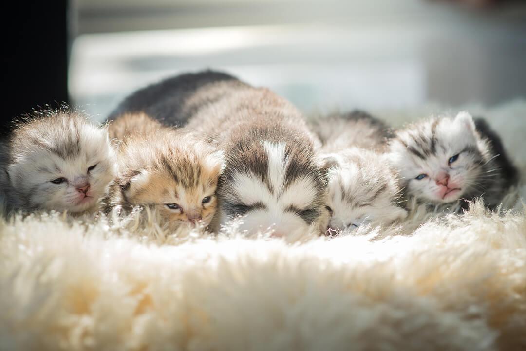 Puppy lying with kittensエアペット2 | Fanimal(ファニマル)