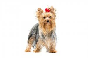犬種図鑑 ヨークシャー・テリア2 | Fanimal(ファニマル)