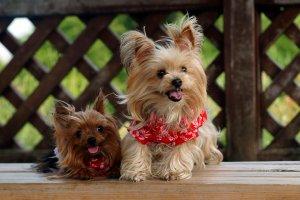 犬種図鑑ヨークシャー・テリア1 | Fanimal(ファニマル)
