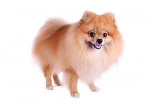 犬種図鑑 ポメラニアン4 | Fanimal(ファニマル)