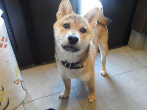 柴犬のライ4ヶ月の頃 | Fanimal(ファニマル)