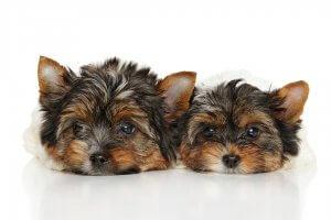 犬種図鑑 ヨークシャー・テリア6 | Fanimal(ファニマル)