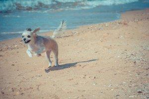 砂浜を駆けるチワワ | Fanimal(ファニマル)