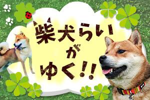 柴犬らいがゆく!!